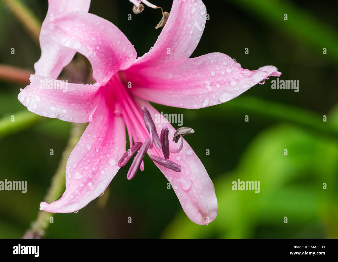 A macro shot of a pink nerine bowdenni bloom. - Stock Image