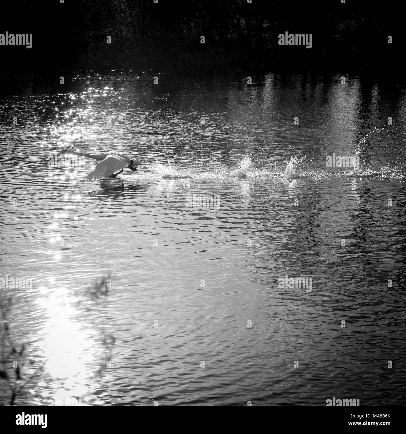 Ethereal style black and white picture of swan running on water - Stock Image