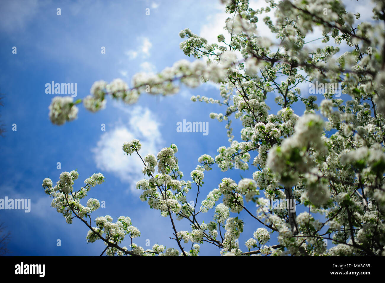 Flowering crabapple trees stock photos flowering crabapple trees white flowers on a blooming crabapple tree seen against the blue sky during spring in izmirmasajfo Images