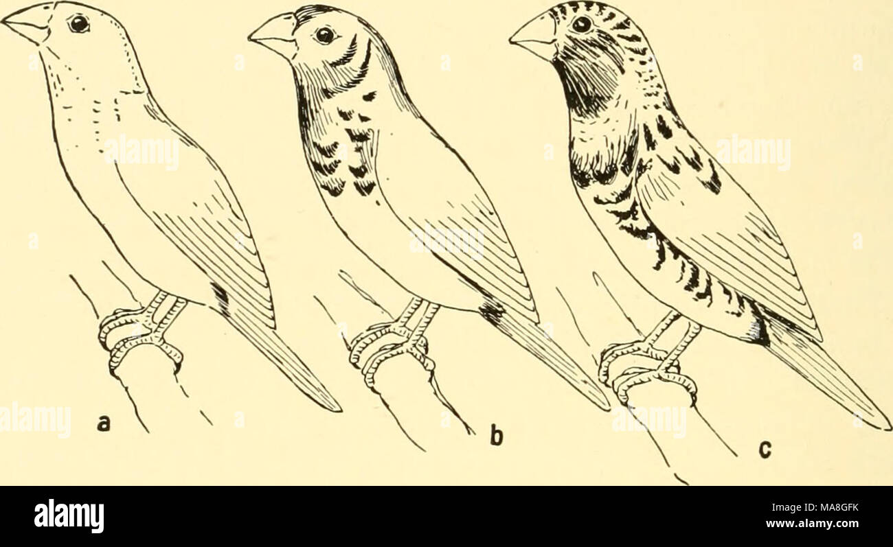 . Ecological animal geography; an authorized, rewritten edition based on Tiergeographie auf ockologischer grundlage . Fig. 109.—a, Australian weaver-finch, Munia flaviprymna, a desert inhabitant; b, the same after three years' residence in a humid climate; c, Munia castanei- thorax, not a desert form. After Seth-Smith. to temperature than to humidity. The darkening of the red slug (Avion empiricorum) is said to parallel the humidity; in the same manner certain snails, Helix arbustorum and Succinea pfeifferi, are darker than usual in damp habitats.11 On the other hand, an abundance of moisture  Stock Photo