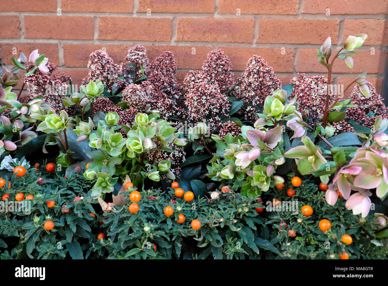 Winter window box plants Hellebore, Skimmia in a container in London UK  KATHY DEWITT - Stock Image