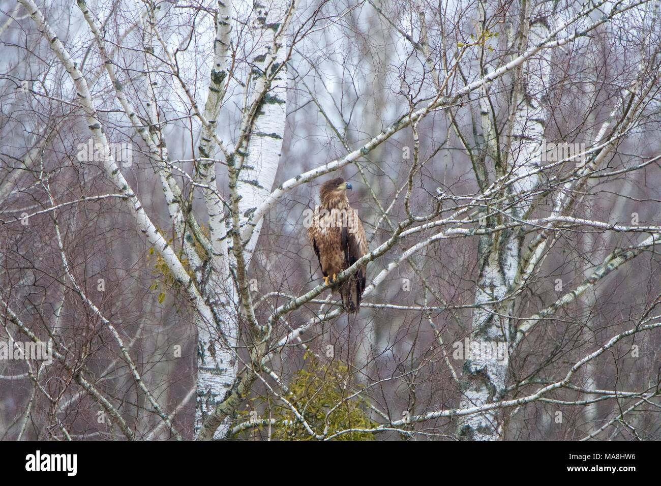 A White-tailed Sea-eagle perched in a birch tree, in winter, in Bialowieza Forest, Poland Stock Photo