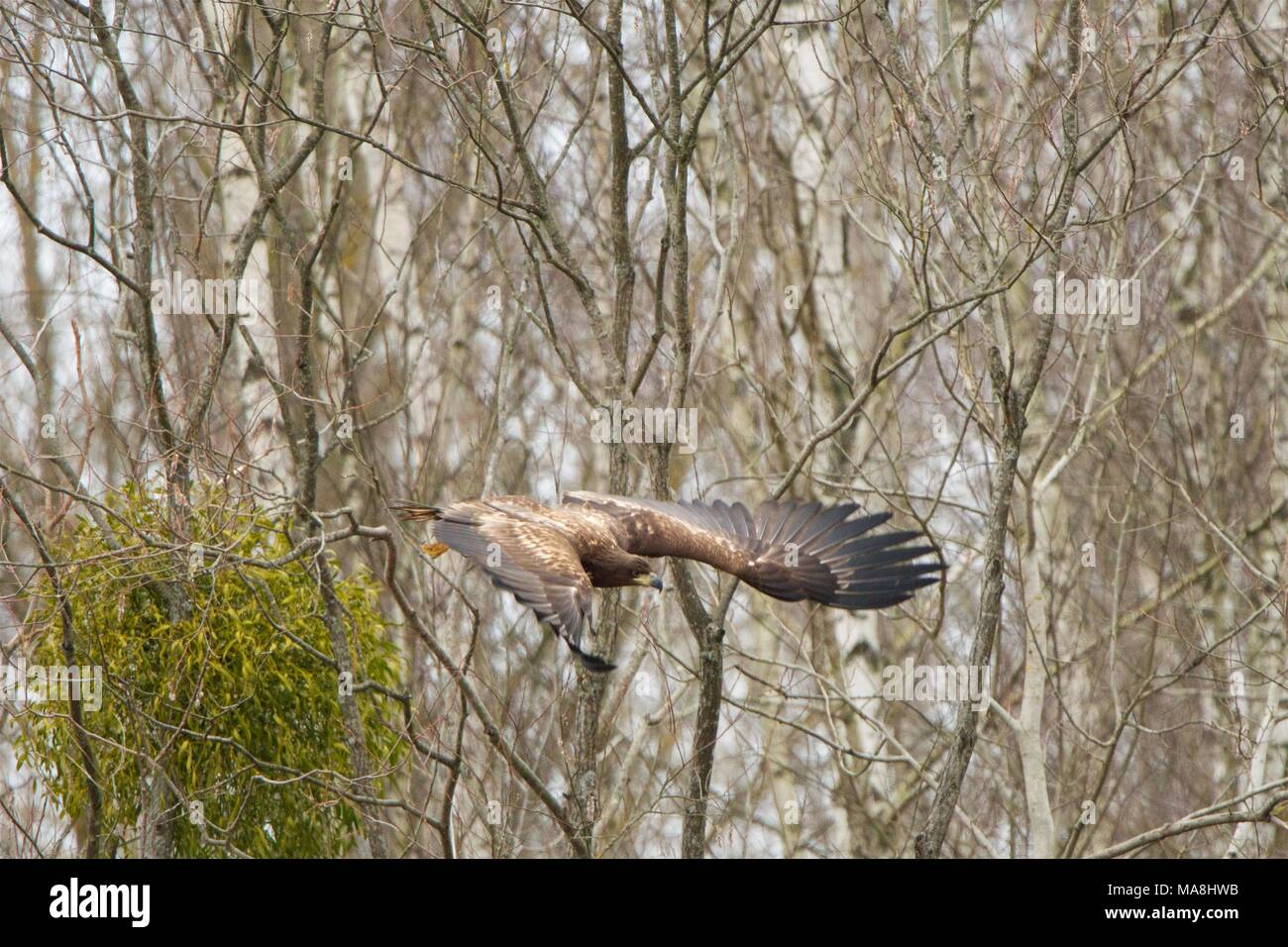 Young White-tailed Eagle in flight. Bialowieza Forest, Poland Stock Photo