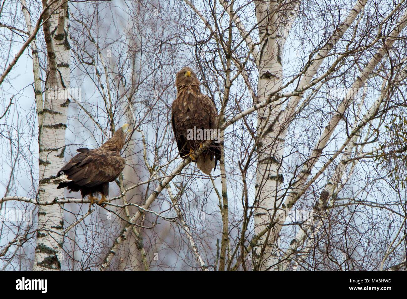 Two White-tailed Sea-eagles perched in a birch tree, in winter, in Bialowieza Forest, Poland Stock Photo