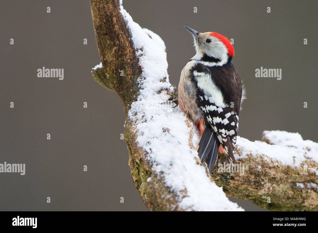Middle Spotted Woodpecker (Leiopicus medius) perched in a snowed branch, Bialowieza Forest, Poland. Stock Photo