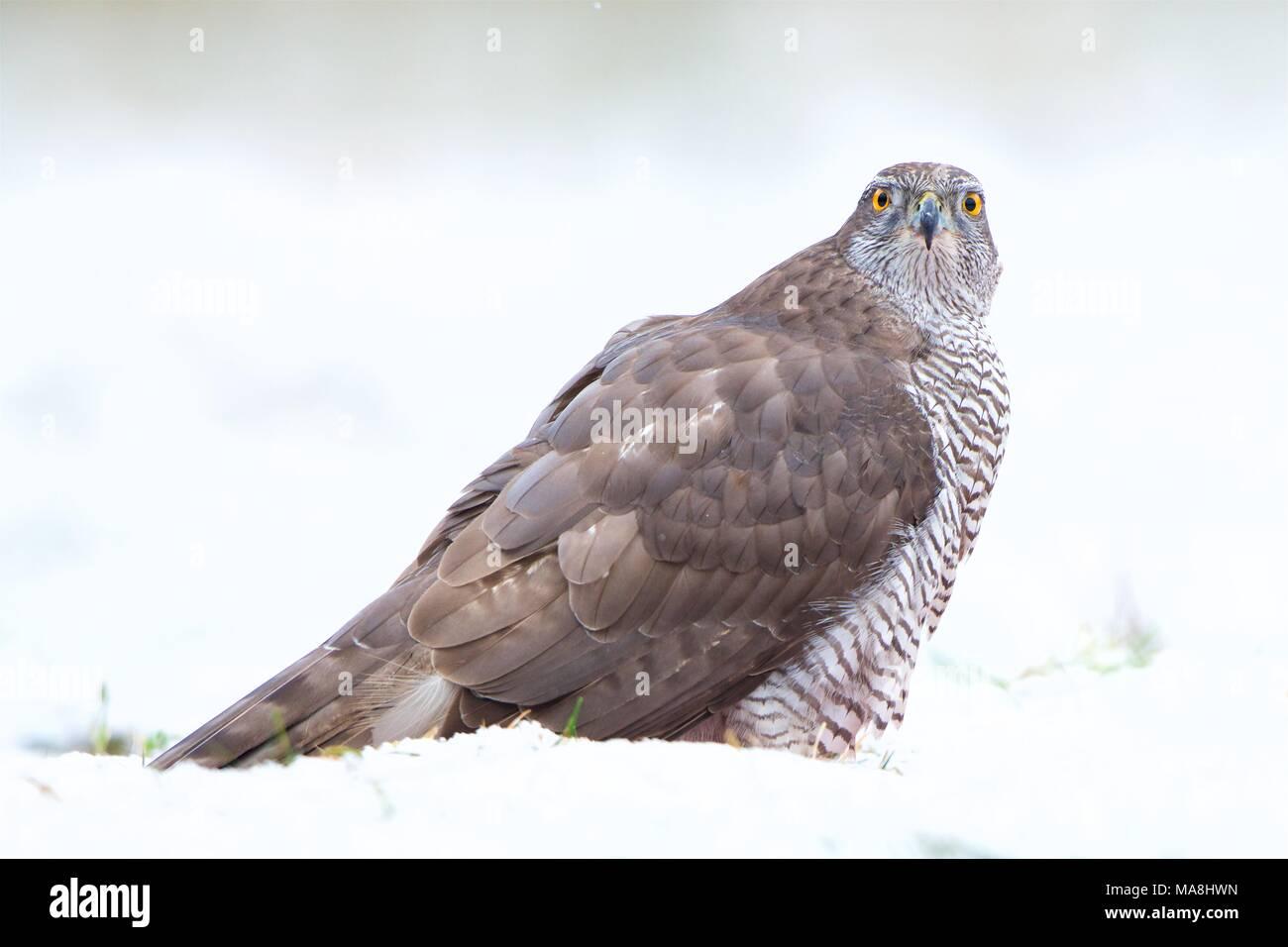 Goshawk (Accipiter gentilis) closeup in snowfall backdrop.  Primer plano de Azor (Accipiter gentilis) con fondo nevado. Stock Photo