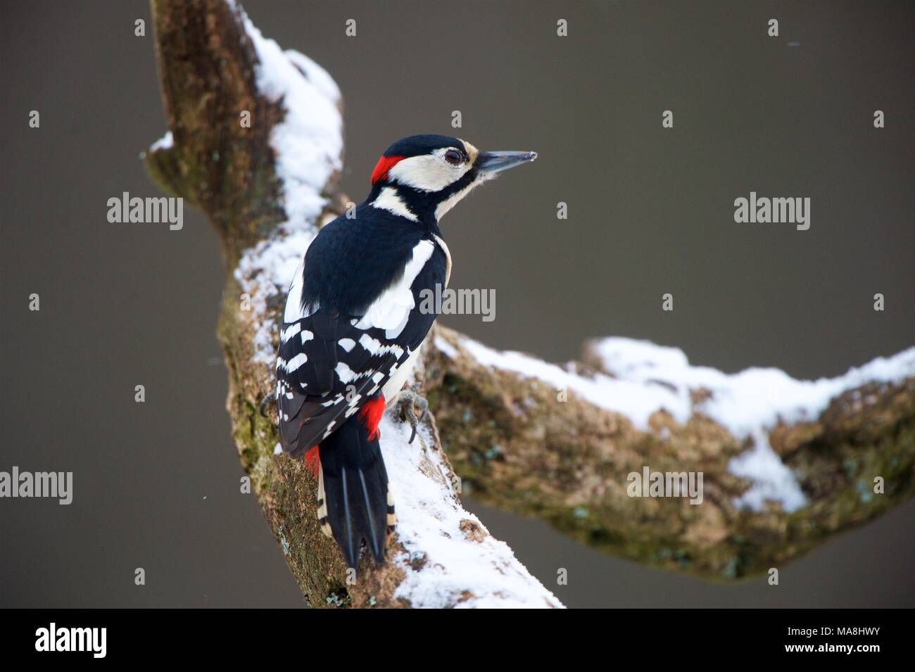 Male Great Spotted Woodpecker perched in a snowed tree branch. Stock Photo