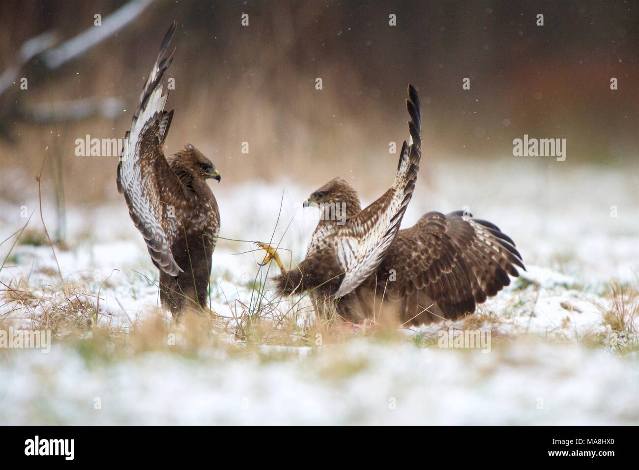 Two Common Buzzards fight in a snowed field, in Bialowieza Forest, Poland. Stock Photo
