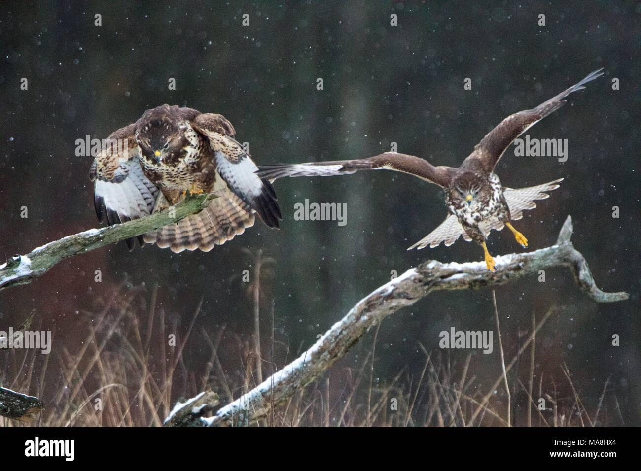 Common Buzzard (Buteo buteo) in Bialowieza Forest, Poland Stock Photo