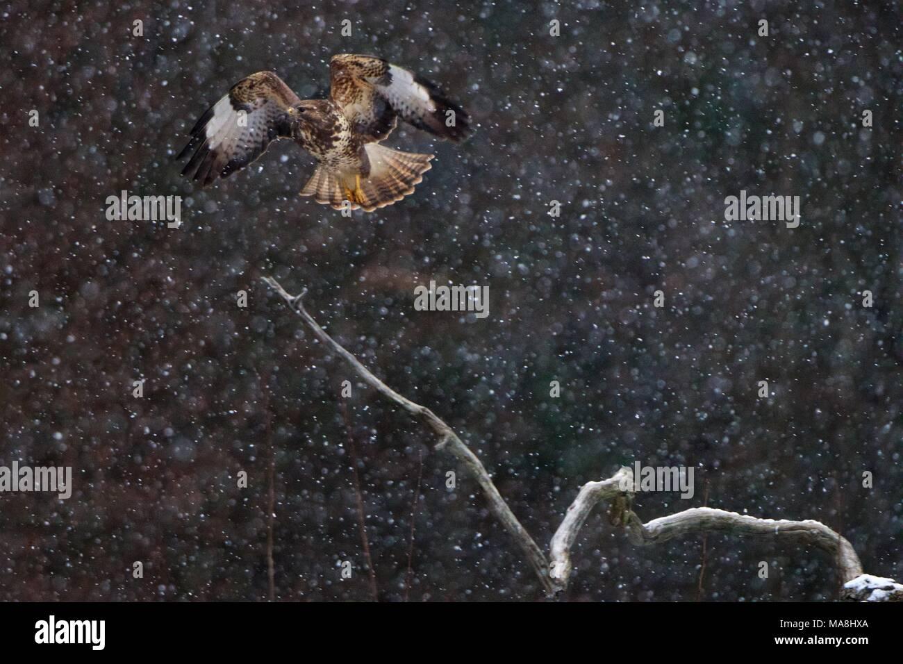 Common Buzzard (Buteo buteo) in flight during a heavy snowstorm.  Ratonero o Aguila Ratonera (Buteo buteo) en vuelo durante una densa nevada. Stock Photo