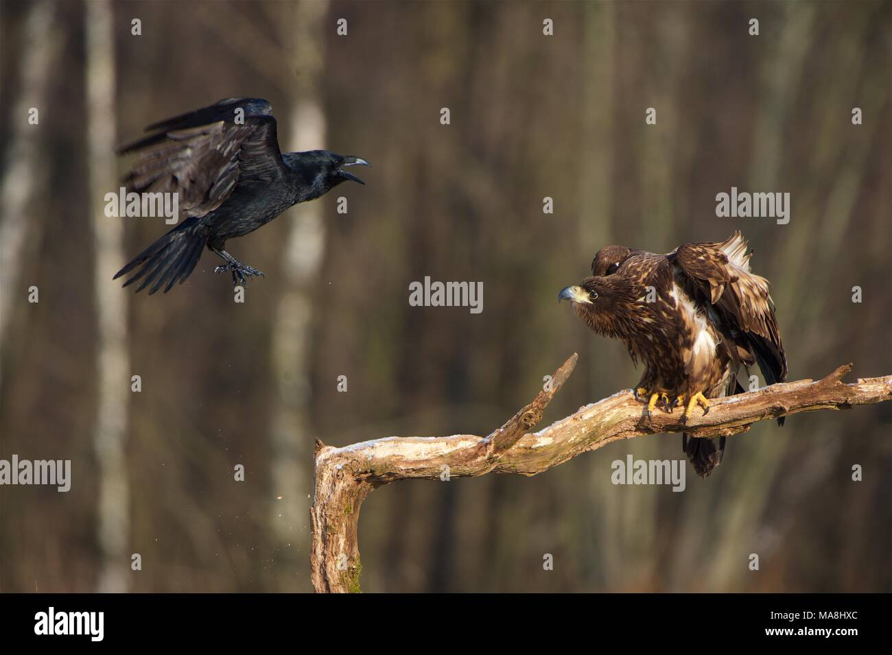 Large Raven pestering a perched White-tailed Sea Eagle Stock Photo