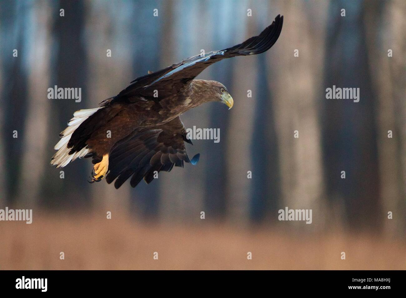 White-tailed Eagle in flight. Bialowieza Forest, Poland Stock Photo