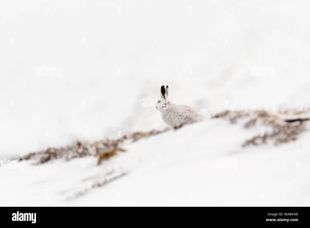Alert mountain hare (lepus timidus) sitting on snow covered hillside in the Scottish Highlands, March 2018 - Stock Image