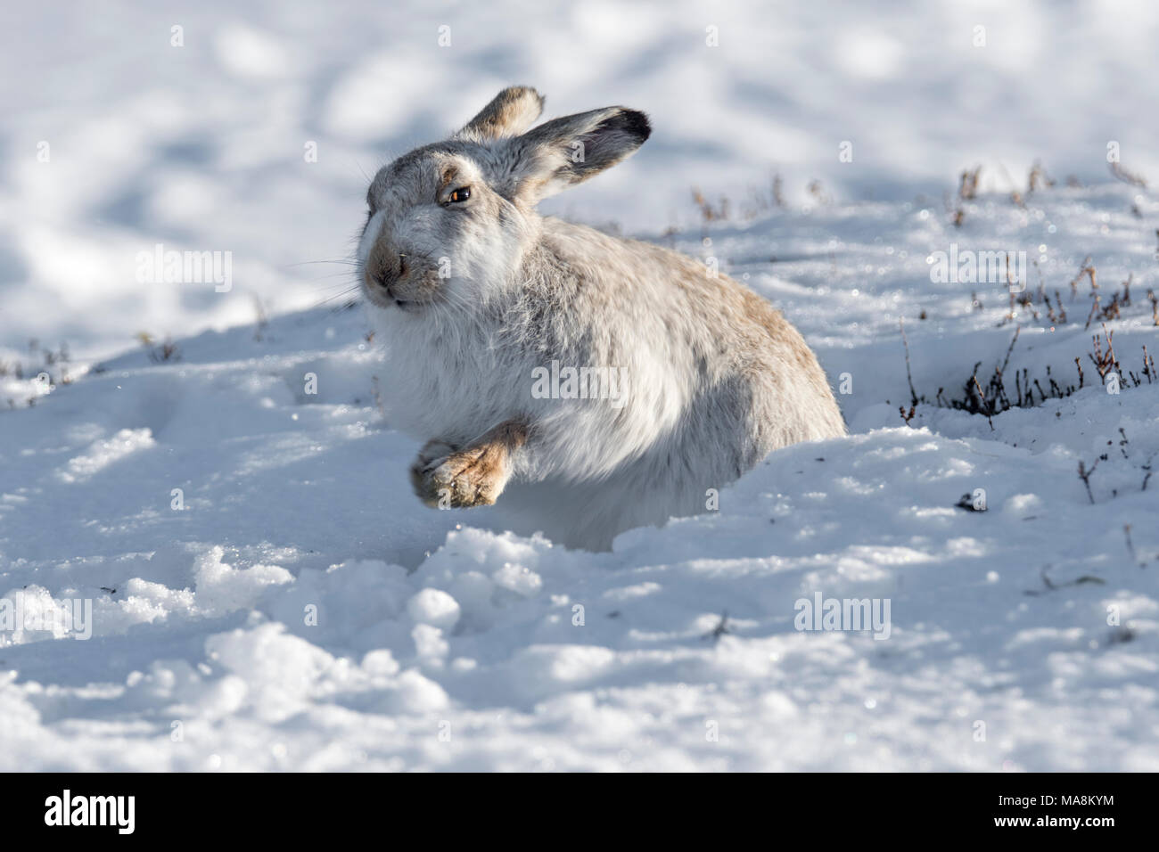 Mountain hare (lepus timidus) in its form on snow covered hillside in the Scottish Highlands, March 2018 - Stock Image
