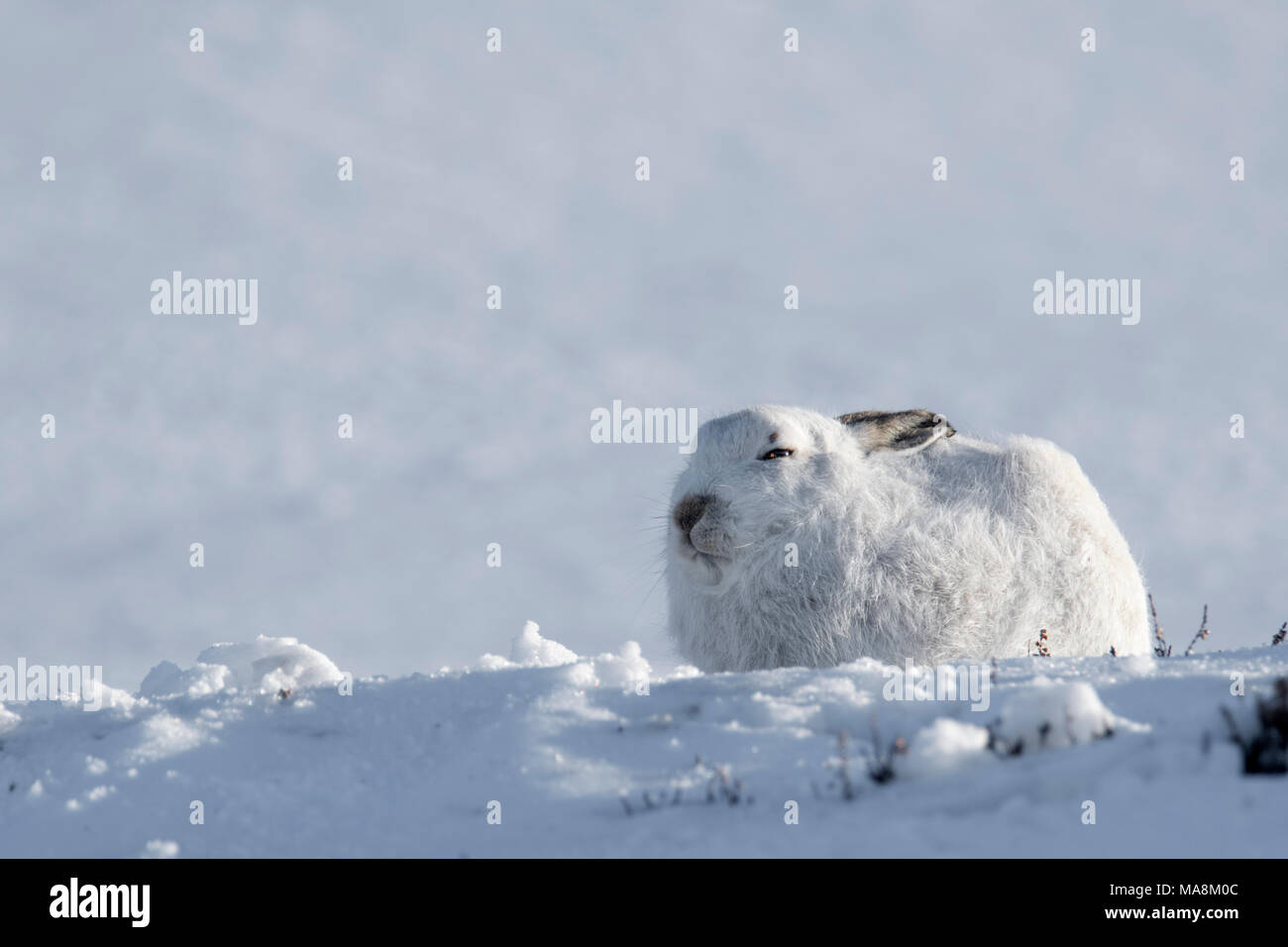 Side-profile of mountain hare (lepus timidus) on snow covered hillside in the Scottish Highlands, March 2018 - Stock Image