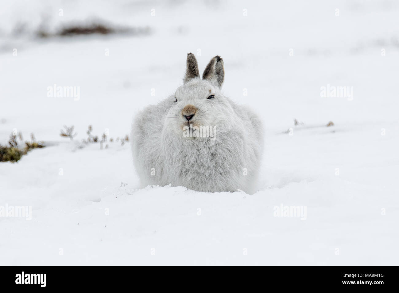 Mountain hare (lepus timidus) hunkered down on snow covered hillside in the Scottish Highlands, March 2018 - Stock Image
