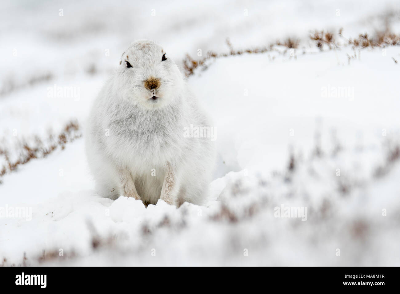 Alert mountain hare (lepus timidus) on snow covered hillside in the Scottish Highlands, March 2018 - Stock Image