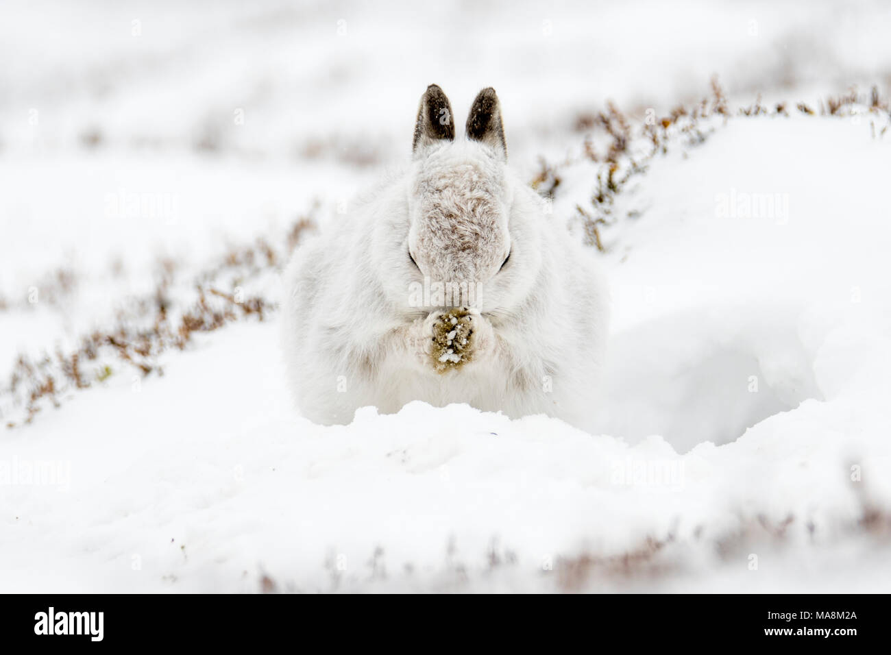 Mountain hare (lepus timidus) grooming in form on snow covered hillside in the Scottish Highlands, March 2018 - Stock Image