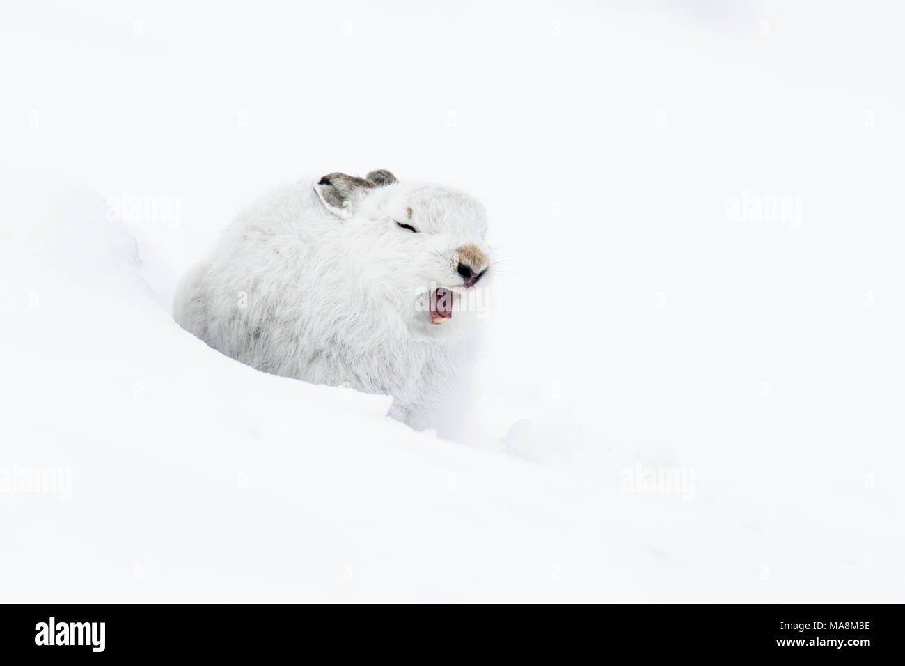 Mountain hare (lepus timidus) in winter pelage yawning on snow covered hillside in the Scottish Highlands - Stock Image