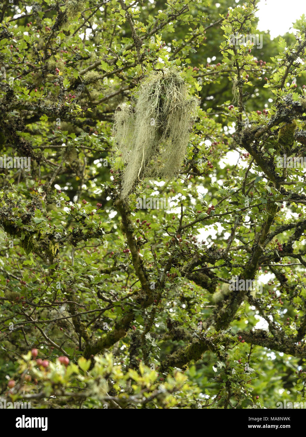 String-of-sausage lichen on a Hawthorn, Usnea articulata - Stock Image