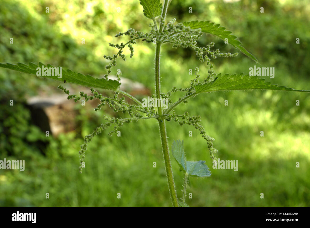 Urtica dioica, Common Nettle Flowers - Stock Image
