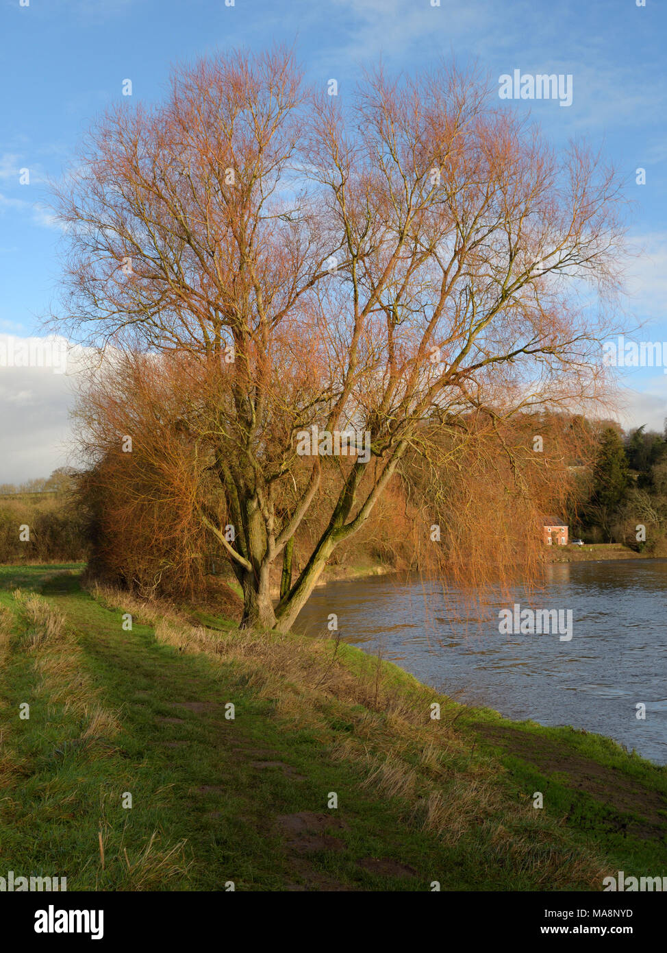 A Willow Tree in the sun on the river Wye near Hay on Wye - Stock Image