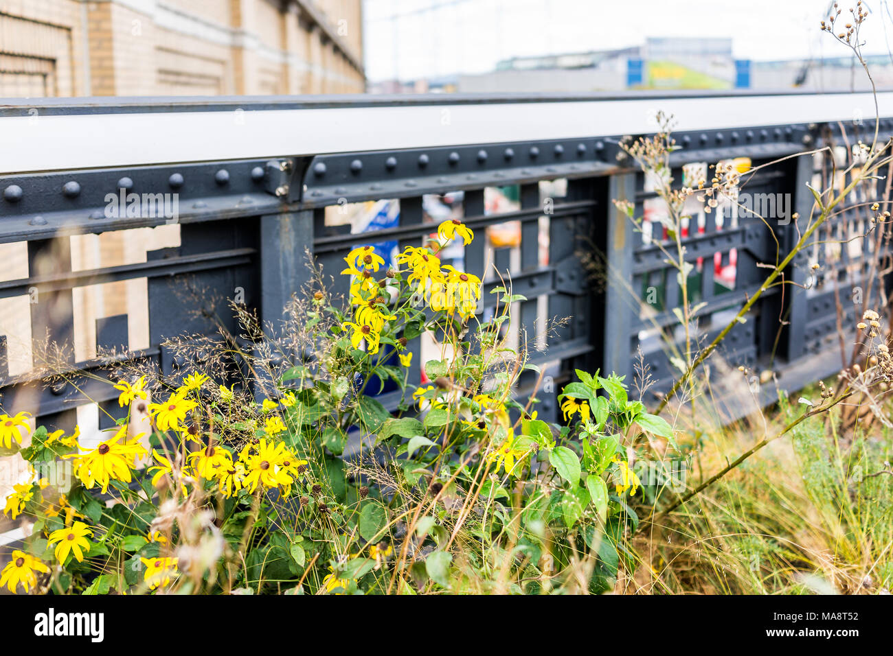 Modern New York City NYC In Chelsea West Side By Hudson Yards, With High  Line Highline Urban Modern Park Garden, Yellow Landscaped Daisy Flowers