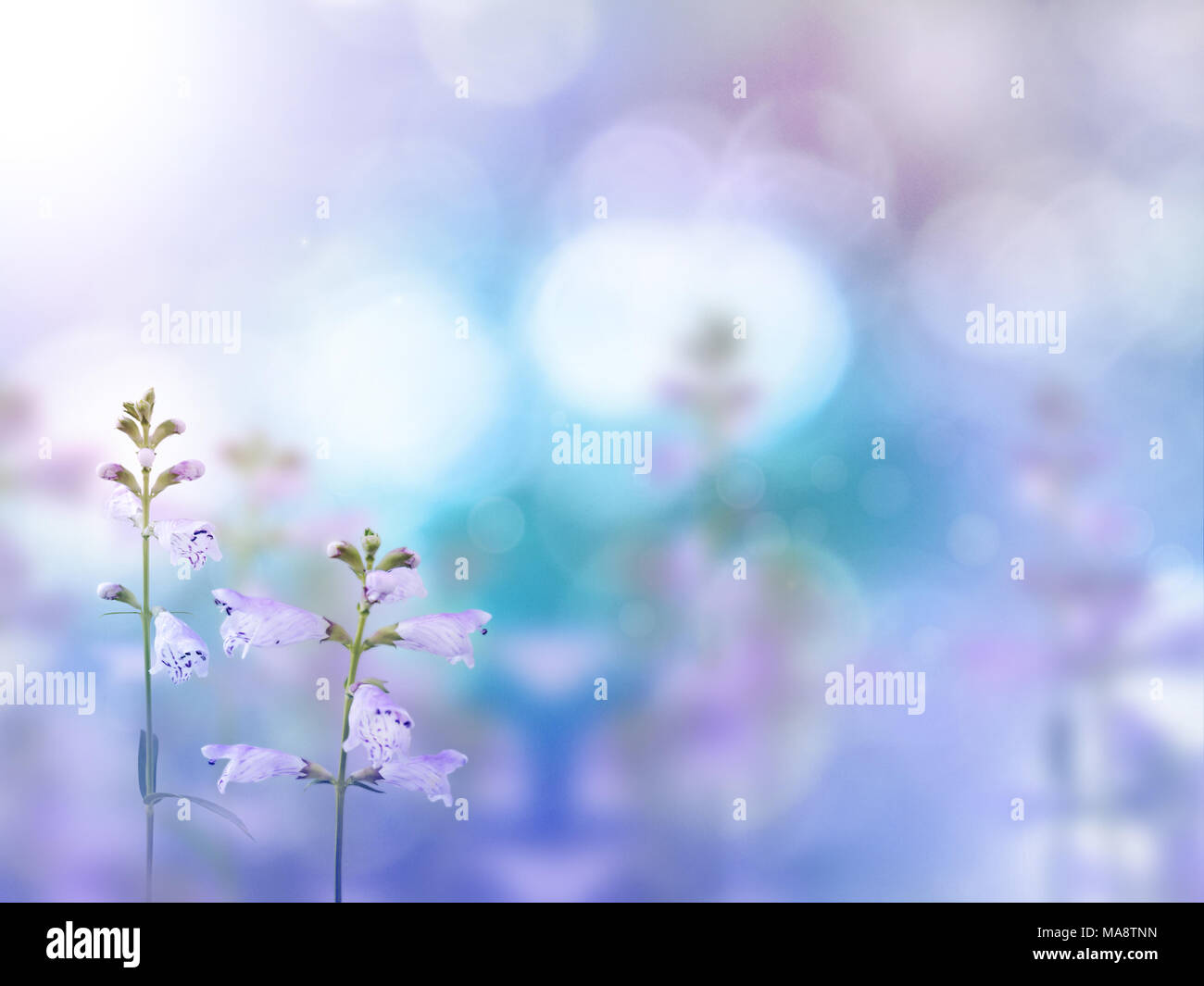 Beautiful light purple flowers on the colorful blurred background. Floral desktop. - Stock Image