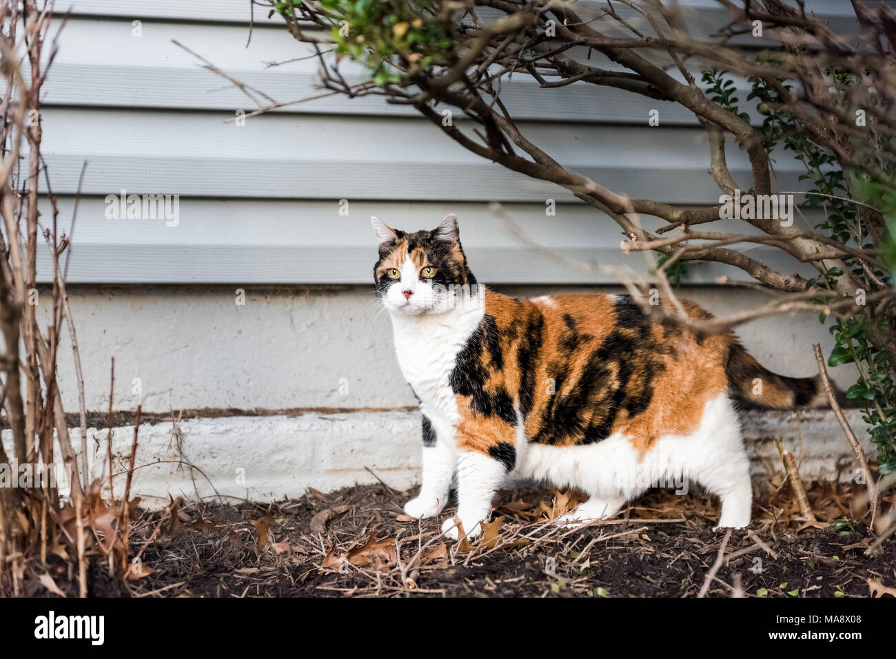 Calico cat outside green garden face under bushes, curious hunting eyes on porch, front or back yard of home or house wall siding - Stock Image