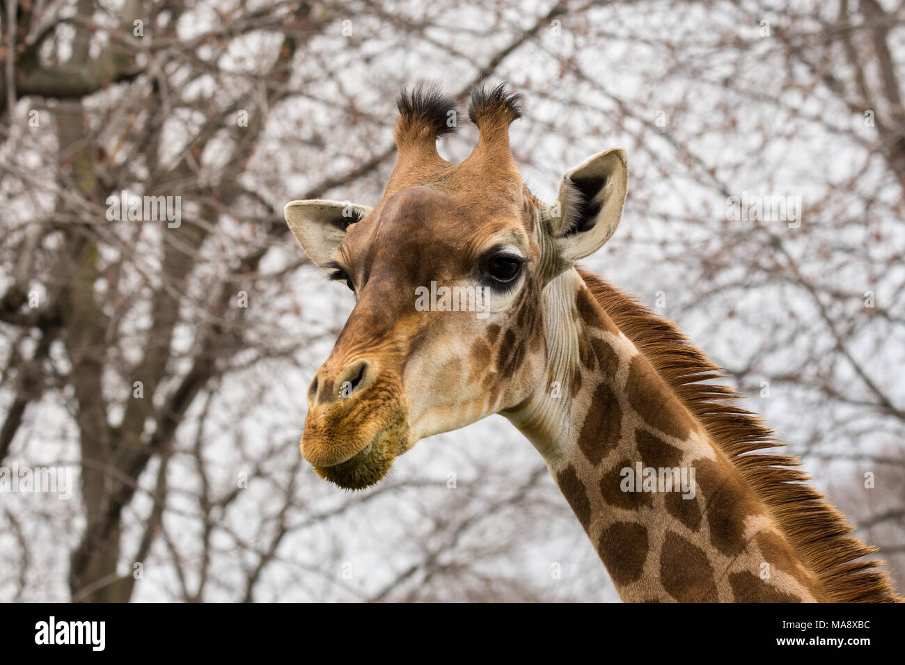 The giraffe (Giraffa) is a genus of African even-toed ungulate mammals, the tallest living terrestrial animals and the largest ruminants - Stock Image