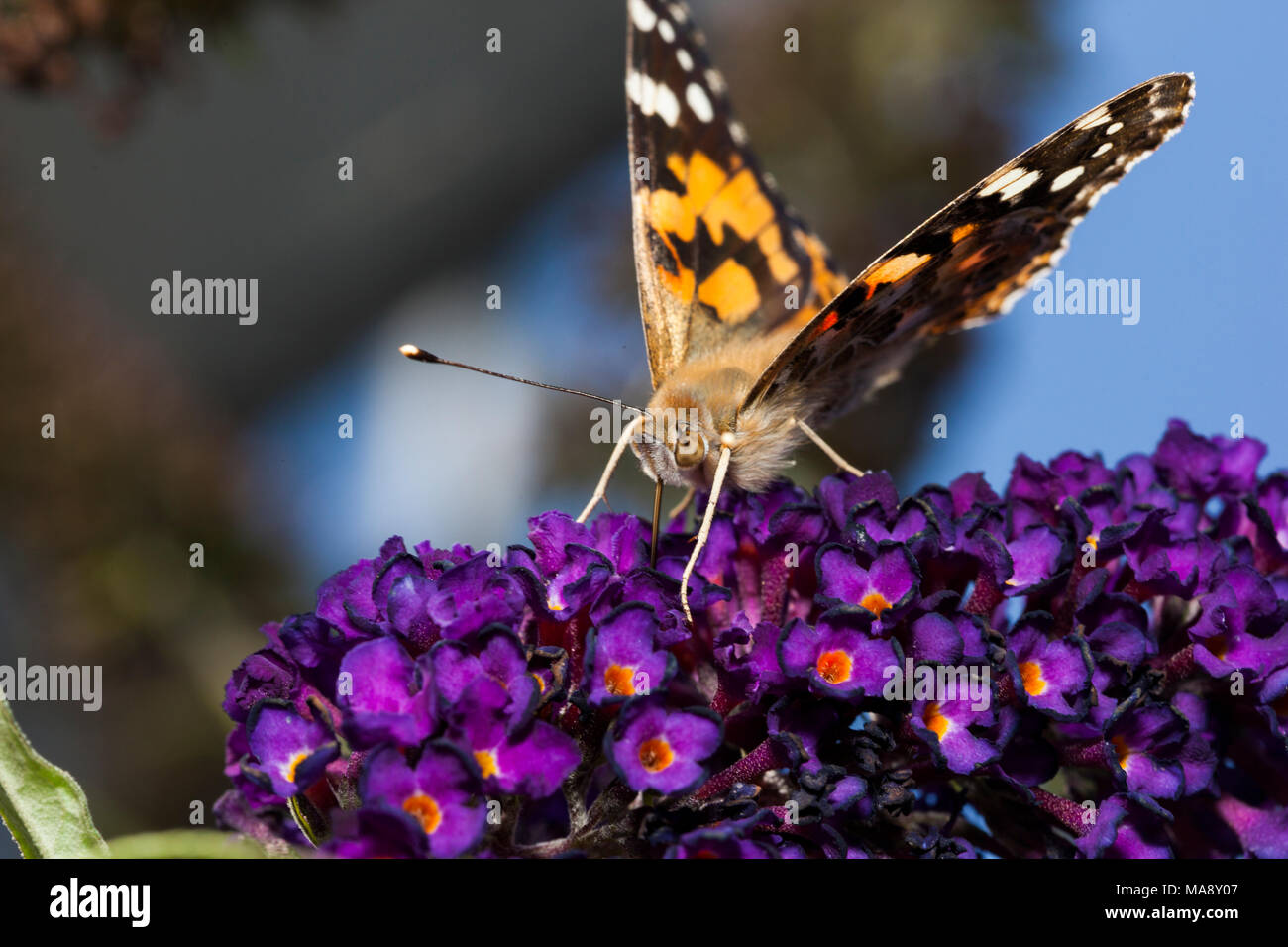 Butterfly visits buddleia in English country garden - Stock Image