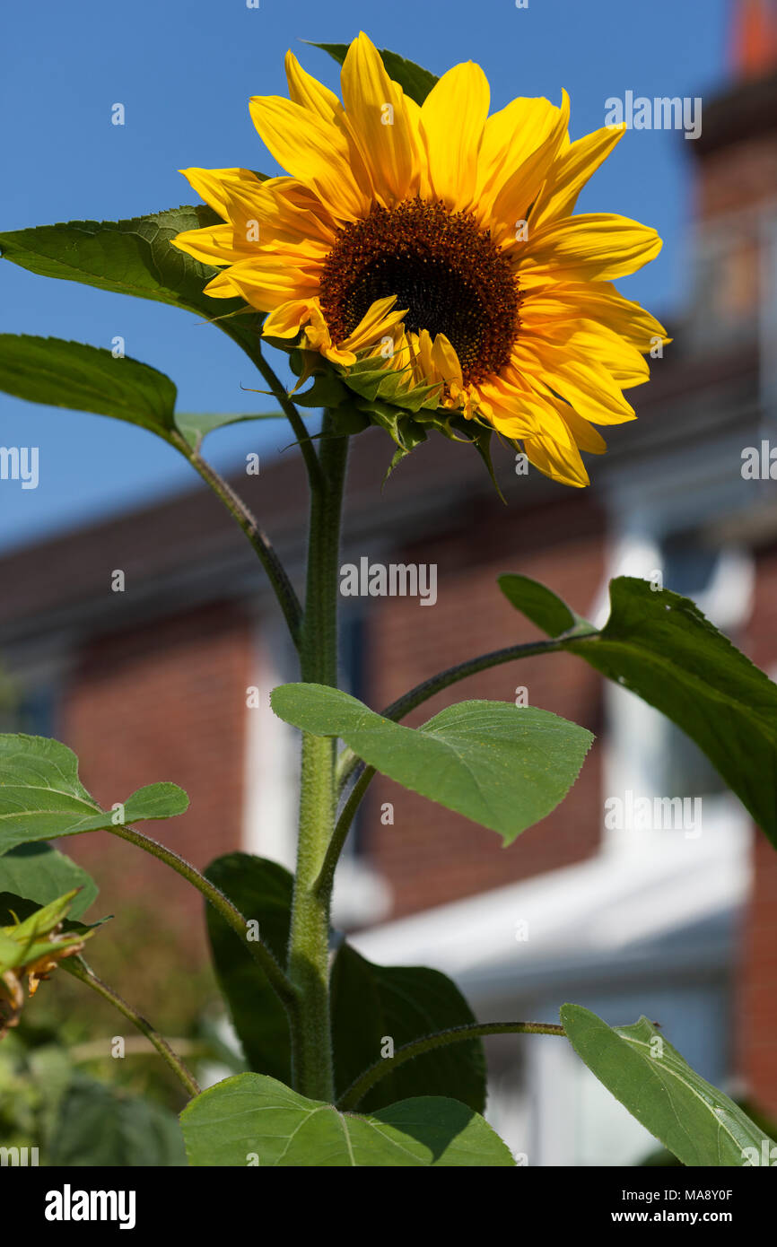 Sunflower whose petals have not quite fully opened and creates the look of someone lifting their hands to their mouth and laughing - Stock Image