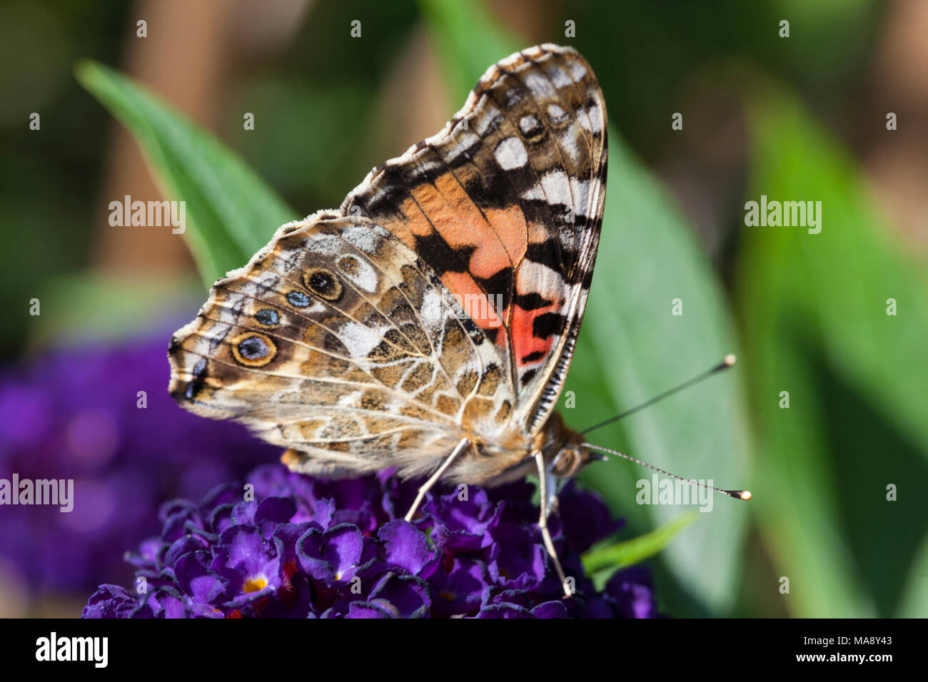 Common garden butterfly in English country garden - Stock Image