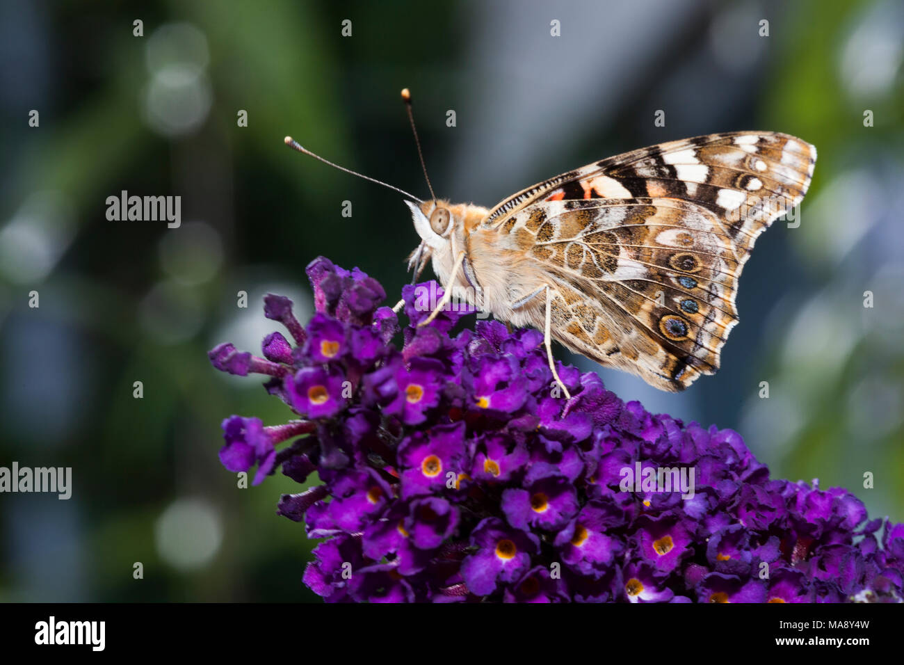 Butterfly at rest on buddleia - Stock Image