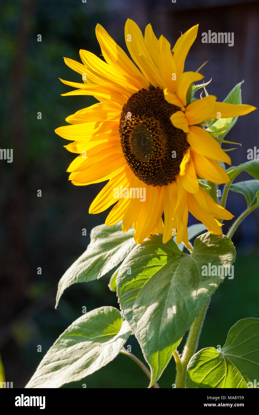 Sunflower with light play across its petals - Stock Image