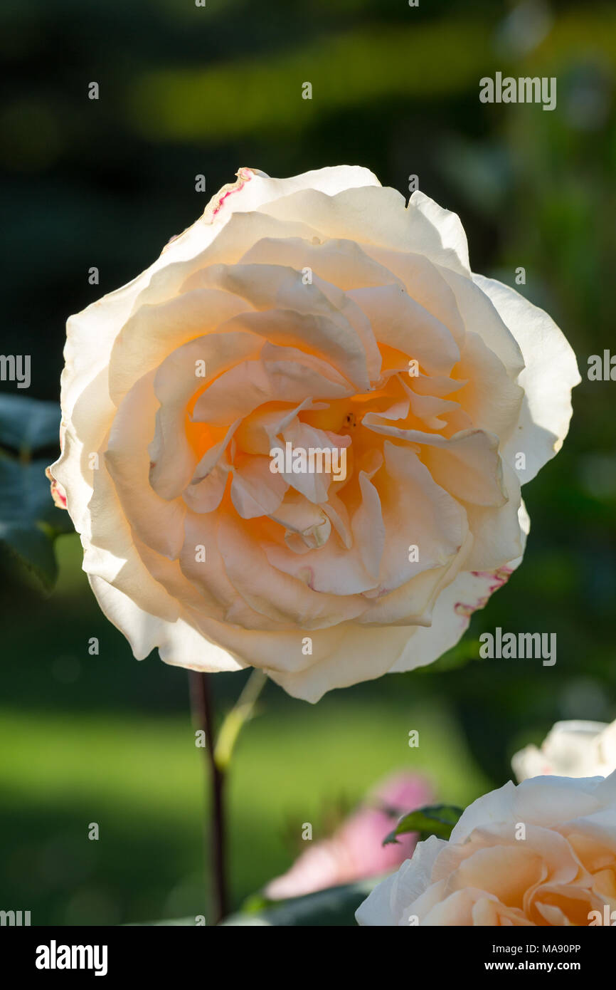 Yellow Rose on the Branch in the Garden Stock Photo: 178448446 - Alamy