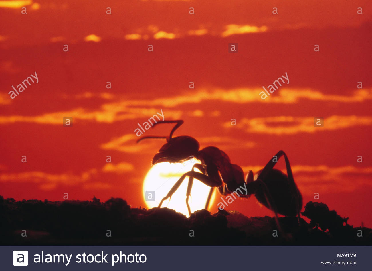 Side view close up of an ant silhouetted against the setting sun. - Stock Image