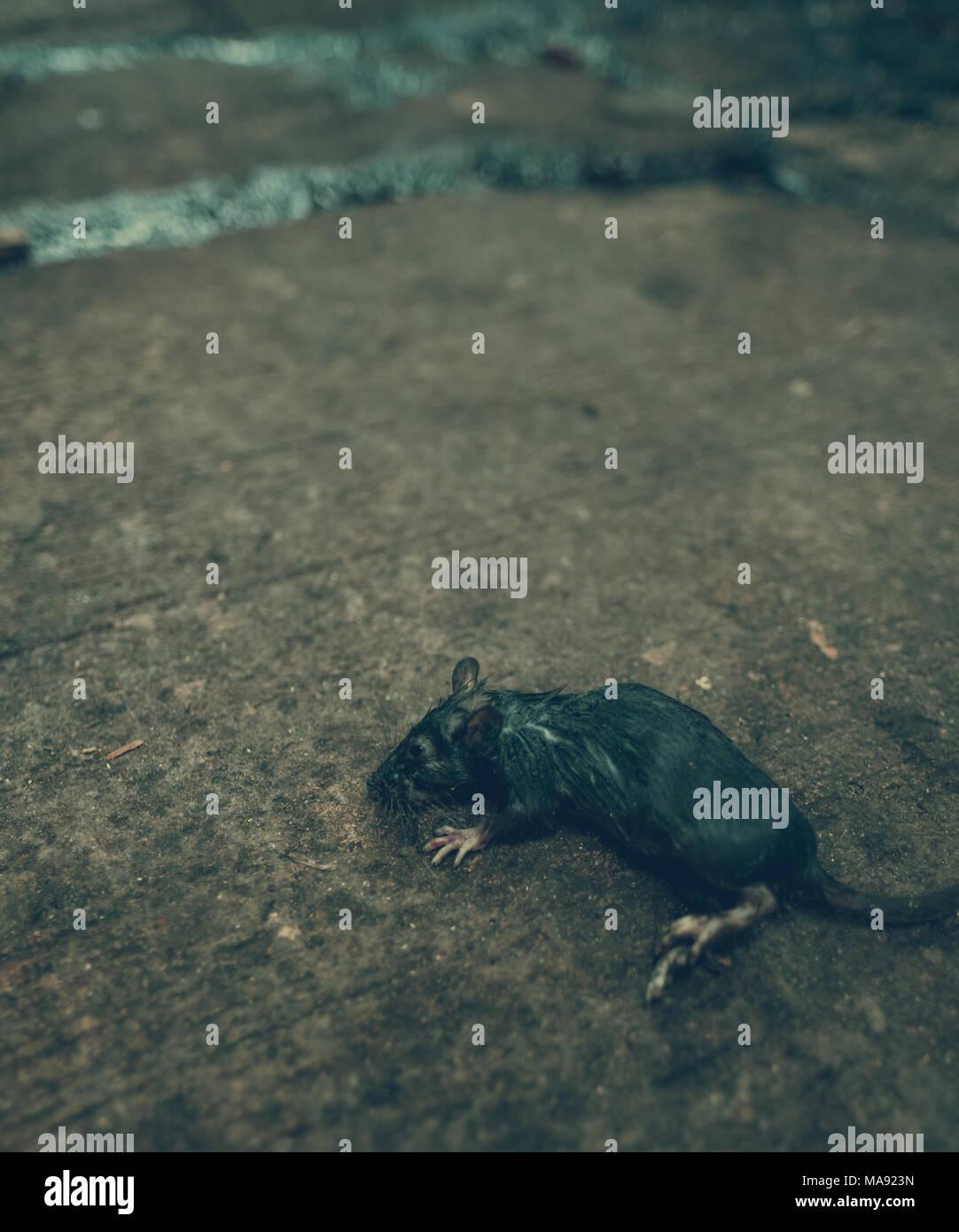Alley Rat - Stock Image