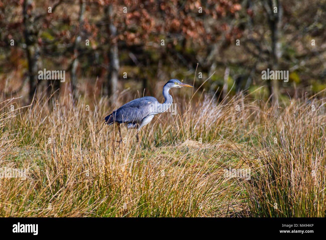 Heron In Foliage Stock Photos & Heron In Foliage Stock Images - Alamy