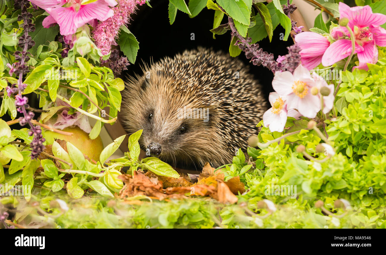 Hedgehog, wild, native European hedgehog in summer flowers and herbs.  Erinaceus europaeus - Stock Image