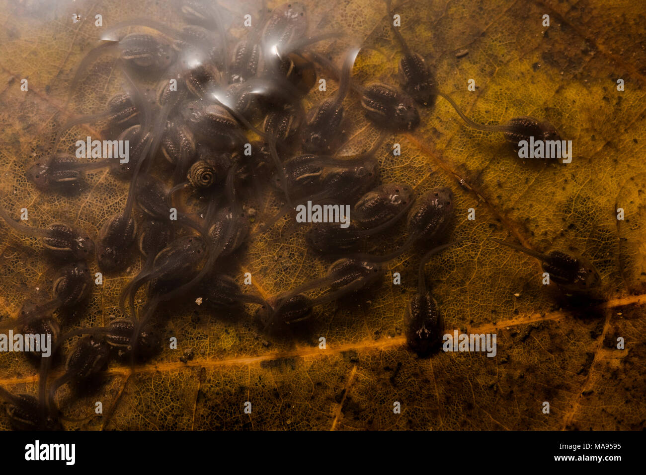 A school of tropical tadpoles from the Peruvian jungle, eventually they will metamorphose to little froglets and leave the water. - Stock Image