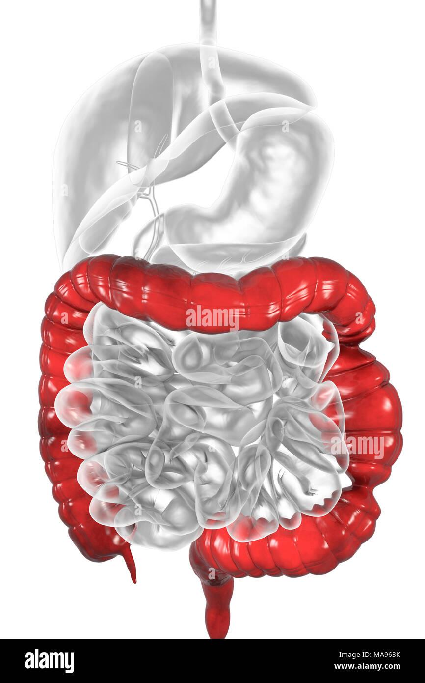 Irritable bowel syndrome  Illustration of a digestive system