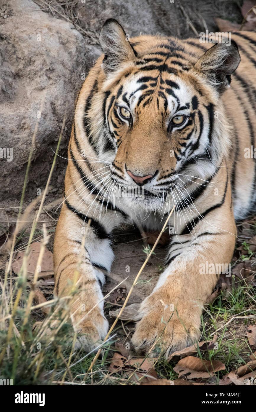 Close-up portrait of a two year old male Bengal Tiger, Panthera tigris tigris, Bandhavgarh Tiger Reserve, Madhya Pradesh, India Stock Photo