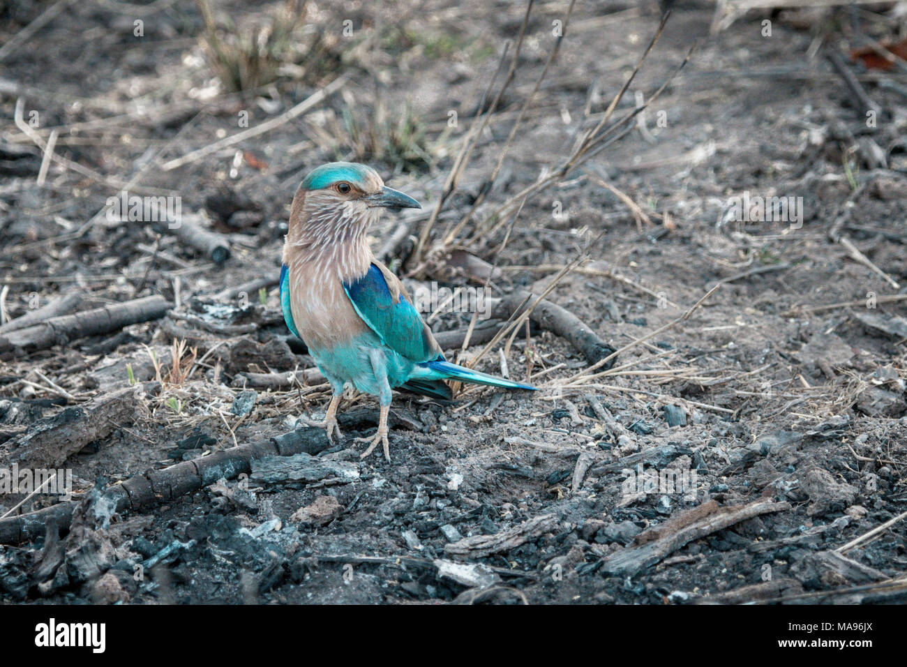 Indian Roller, Caracas benghalensis, standing on the ground, Bandhavgarh National Park, India Stock Photo
