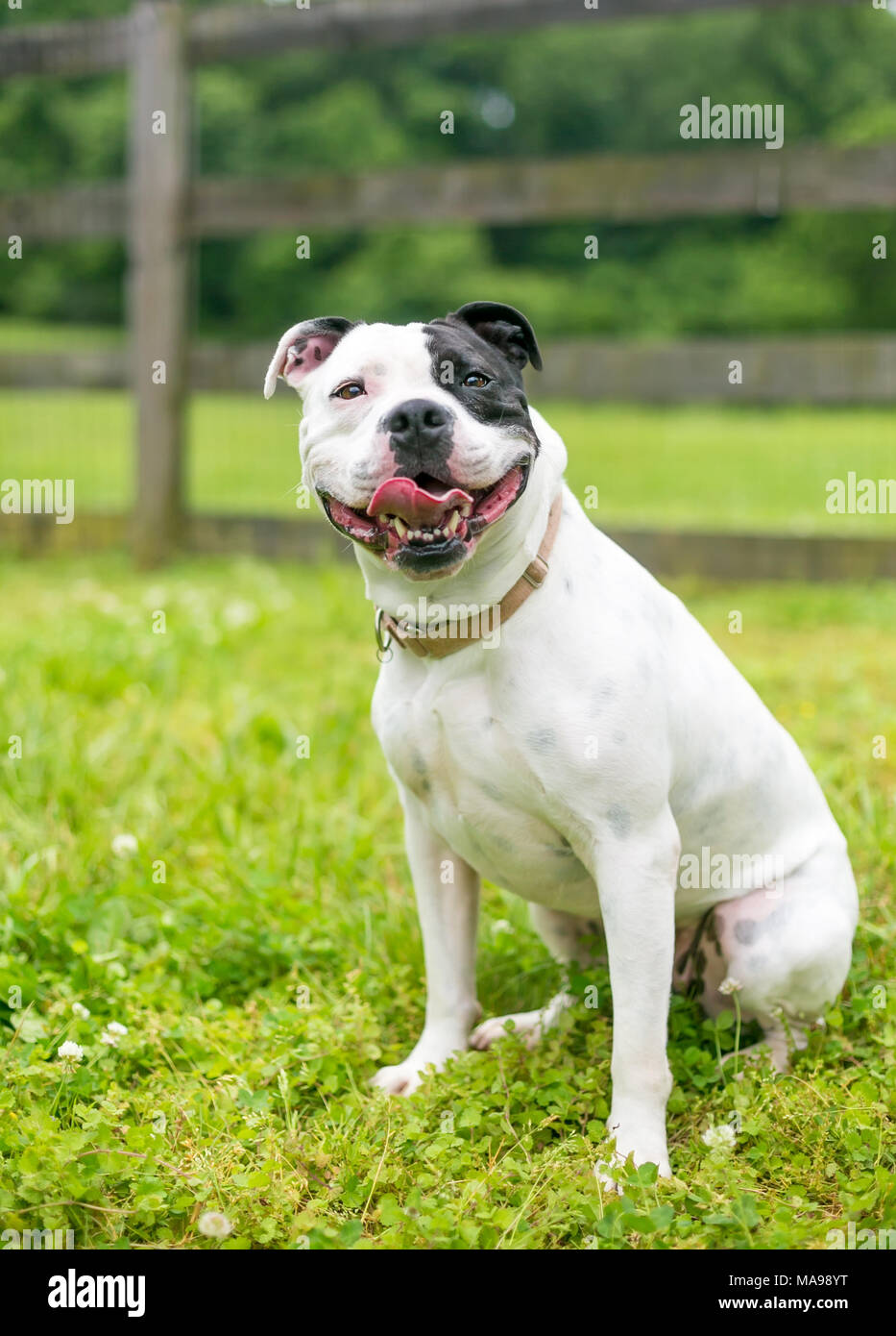 A happy black and white Staffordshire Bull Terrier dog - Stock Image