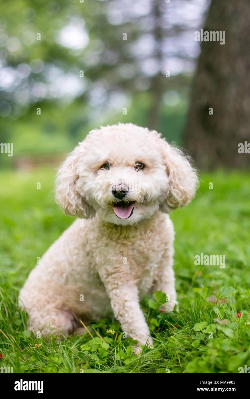 A cute Miniature Poodle dog outdoors - Stock Image