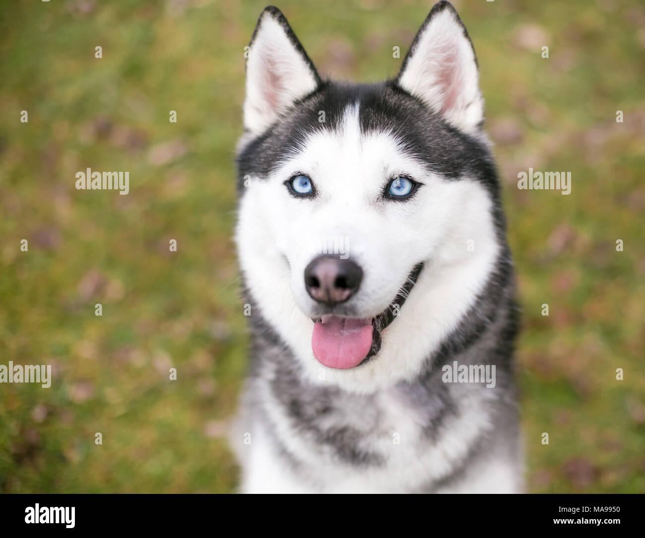 A Siberian Husky dog outdoors - Stock Image
