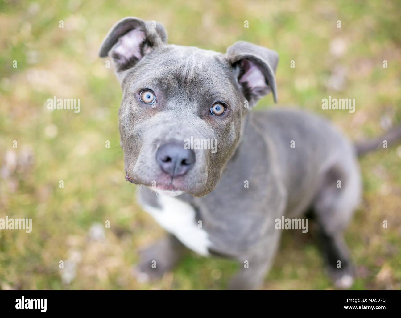 Blue Cane Corso High Resolution Stock Photography And Images Alamy