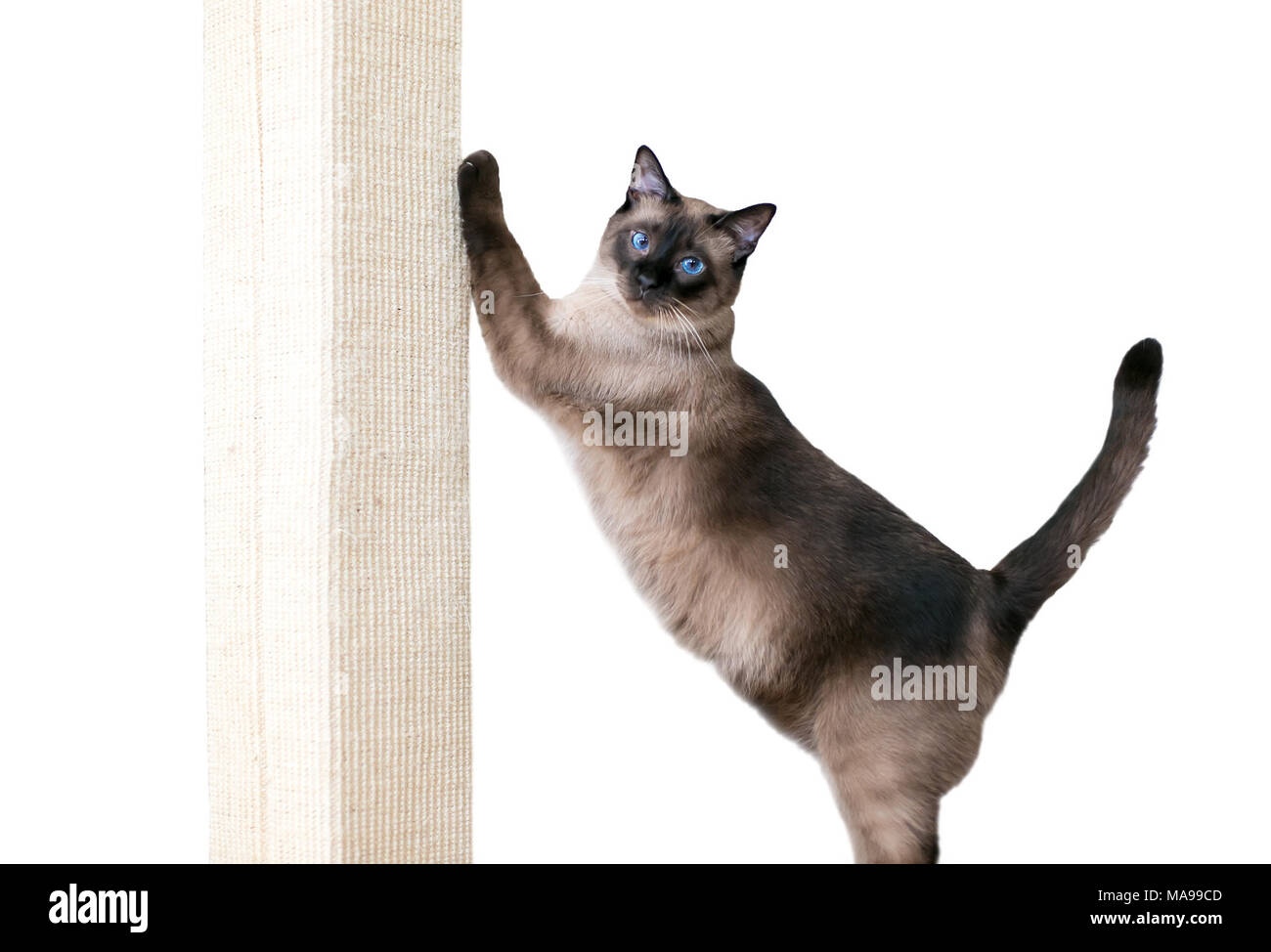 A purebred Siamese cat with seal point markings and blue