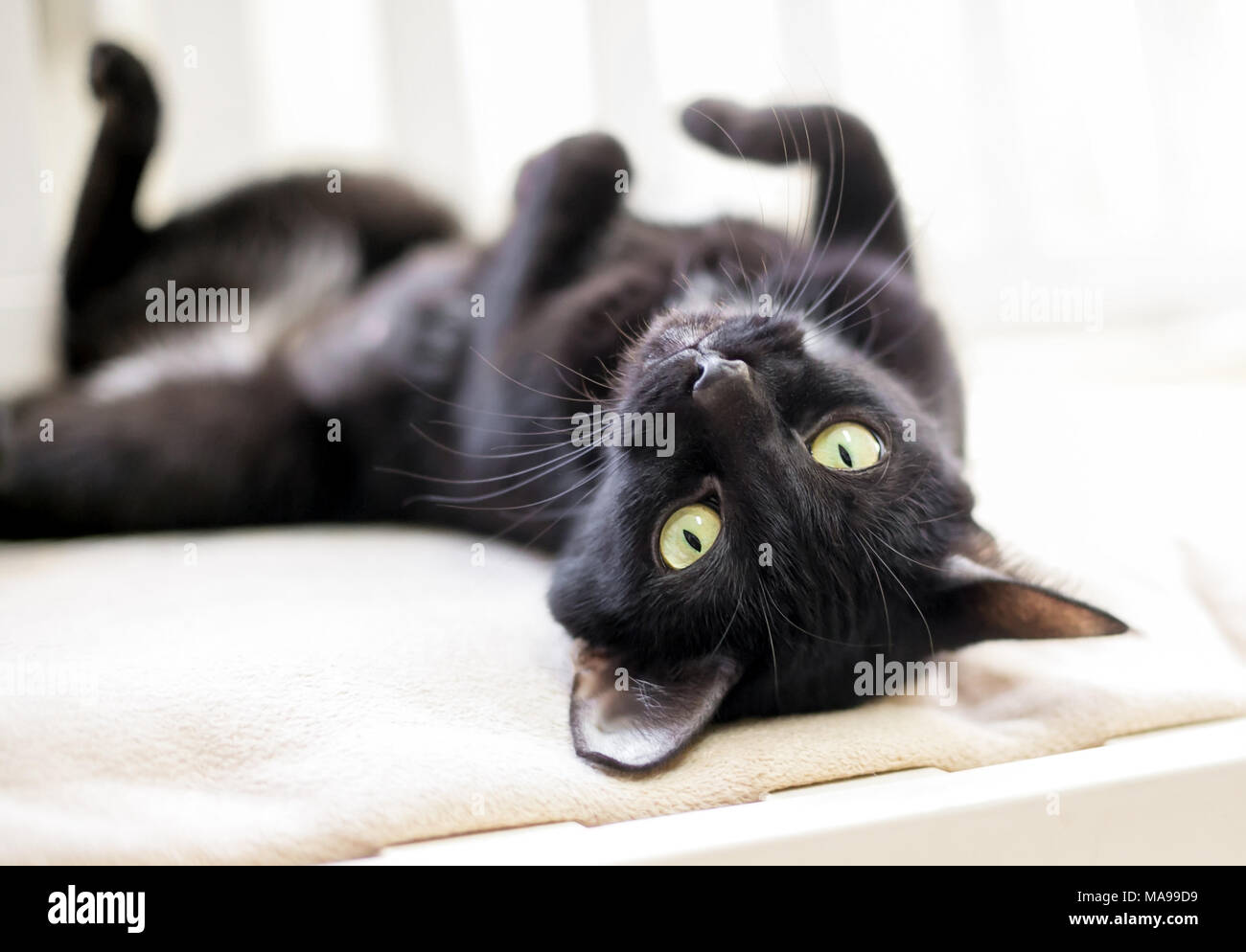 A black cat with yellow eyes lying upside down - Stock Image